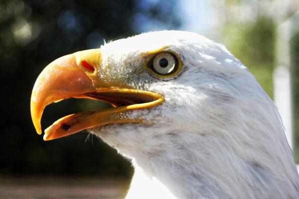 daxjustin-eagle-1
