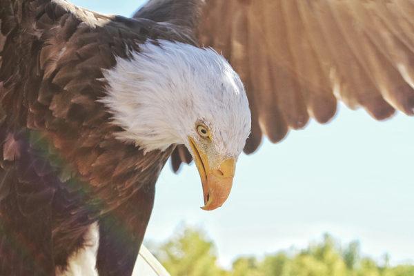daxjustin-eagle-2