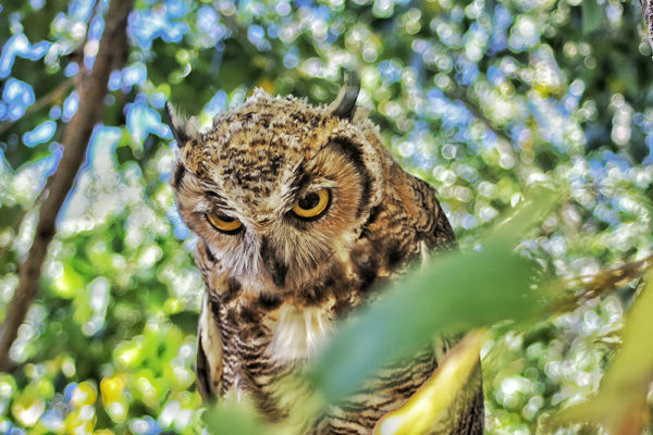 daxjustin-owl-1