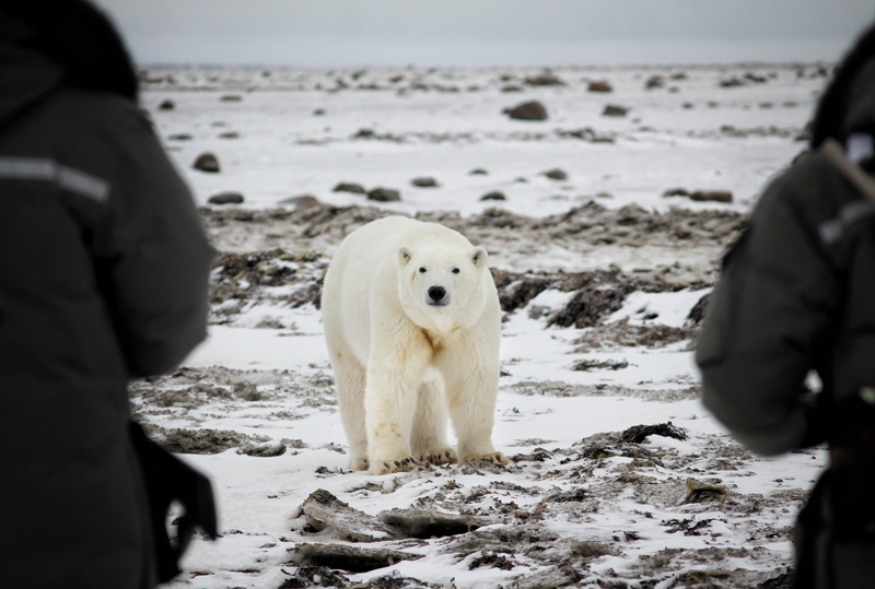 Meeting Polar Bears Face-to-Face with Canadian Geographic