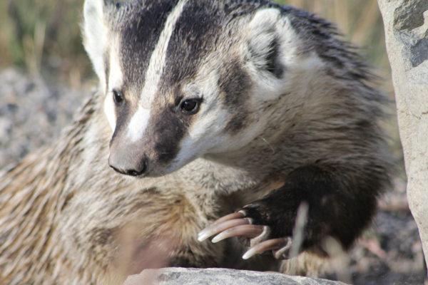daxjustin-portfolio-wildlife-alberta-badger-1
