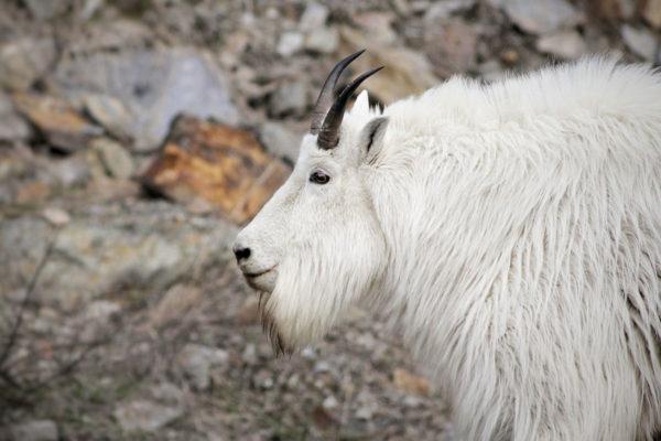 daxjustin-portfolio-wildlife-alberta-goat-1