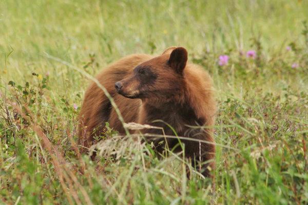 daxjustin-portfolio-wildlife-bear-1