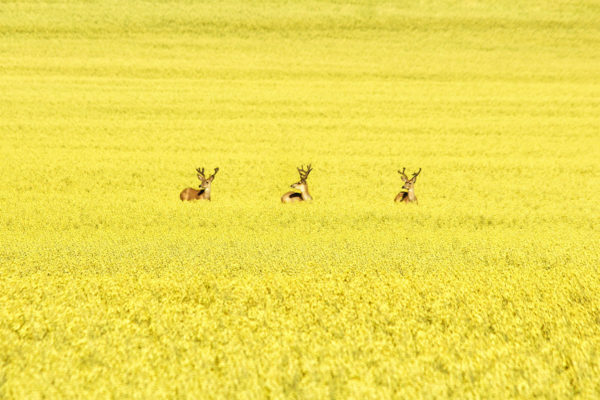 daxjustin-portfolio-wildlife-deer-2