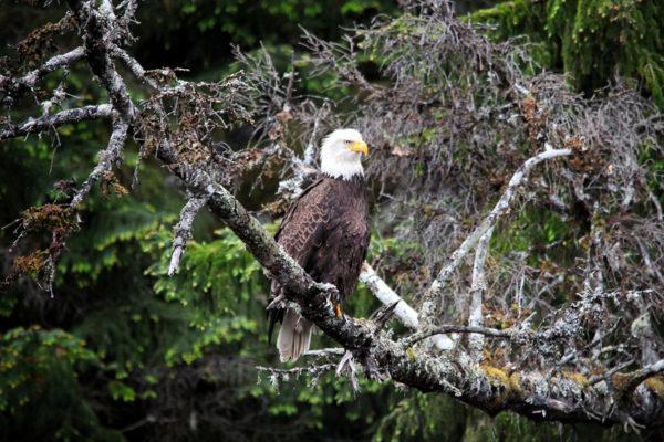 daxjustin-portfolio-wildlife-eagle-2