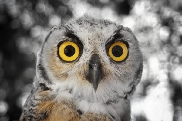 daxjustin-portfolio-wildlife-owl-1